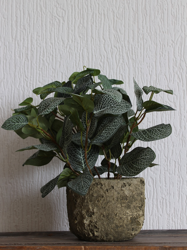 Potted Fittonia Sally Bourne