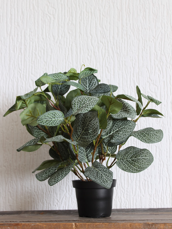 Potted Fittonia Sally Bourne interiors London